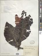 Image of <i>Warszewiczia coccinea</i> (Vahl) Klotzsch