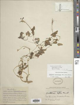 Image of <i>Phaseolus pauciflorus</i>