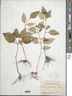 Image of <i>Ophiorrhiza rosacea</i> Ridl.