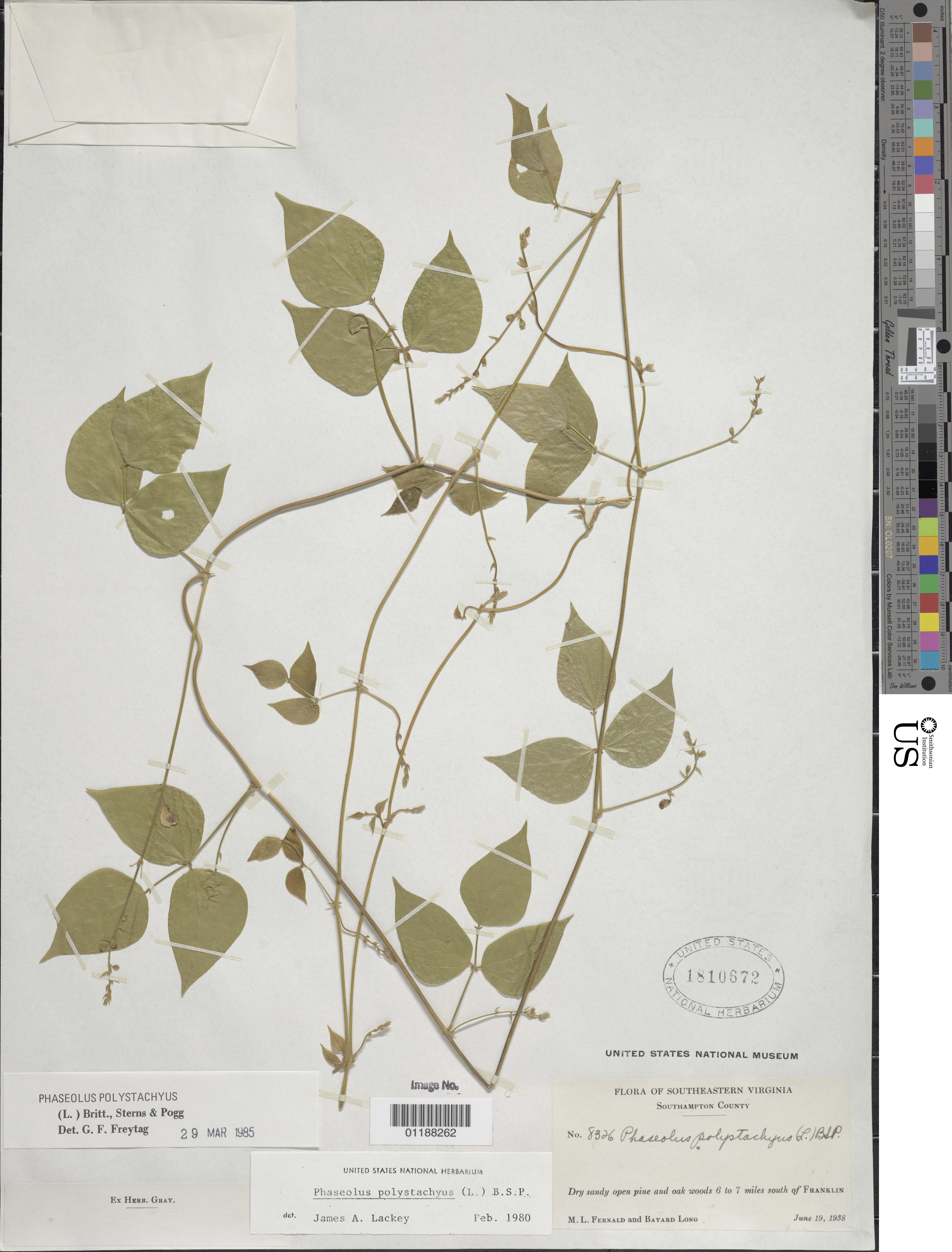 Image of Thicket Bean