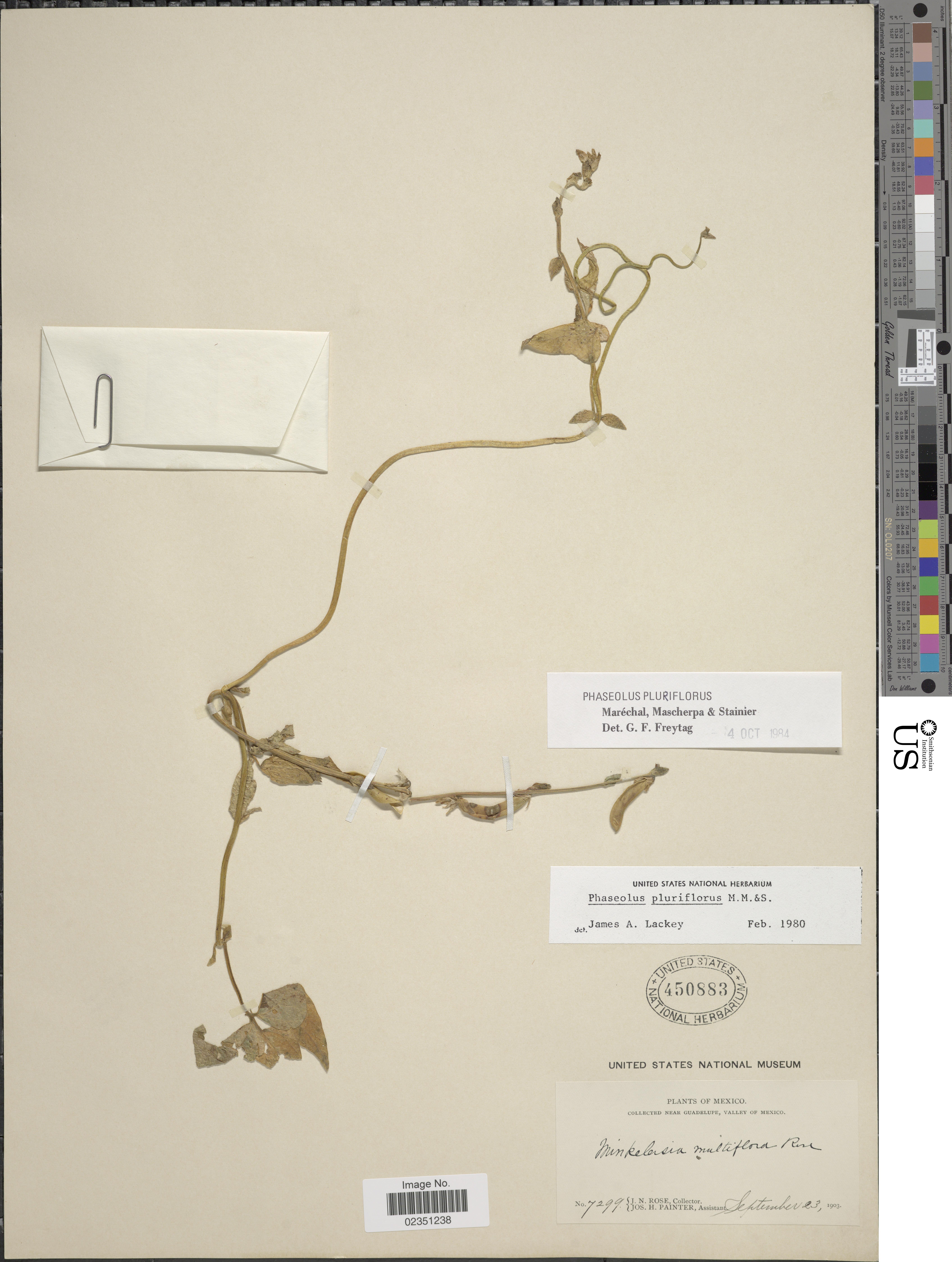 Image of <i>Phaseolus pluriflorus</i> Marechal et al.