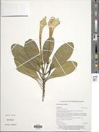 Image of <i>Bikkia palauensis</i> Valeton