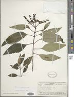 Image of <i>Ophiorrhiza leptantha</i> A. Gray
