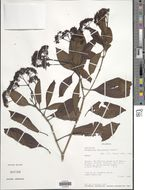 Image of <i>Chimarrhis microcarpa</i> Standl.
