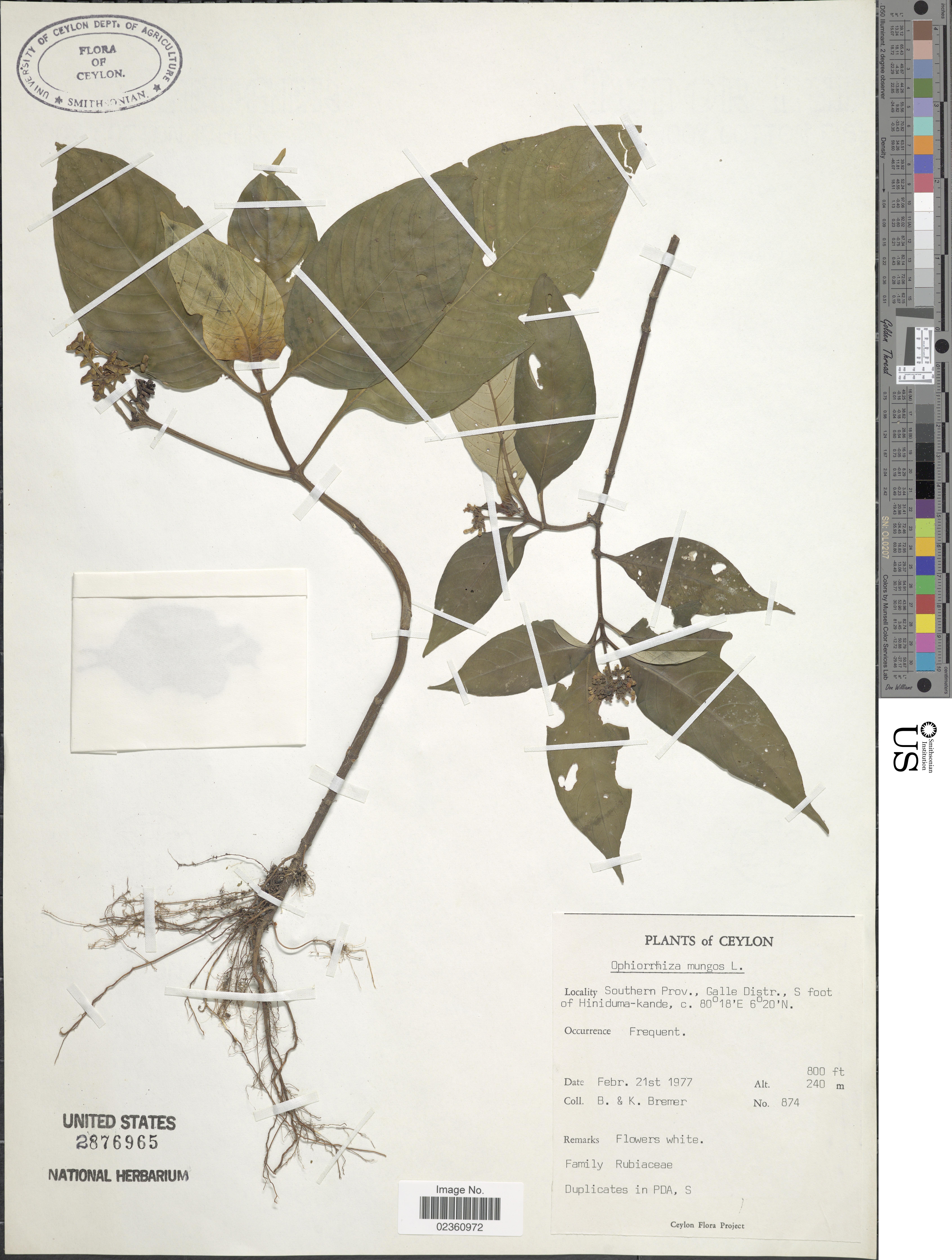 Image of <i>Ophiorrhiza mungos</i> L.