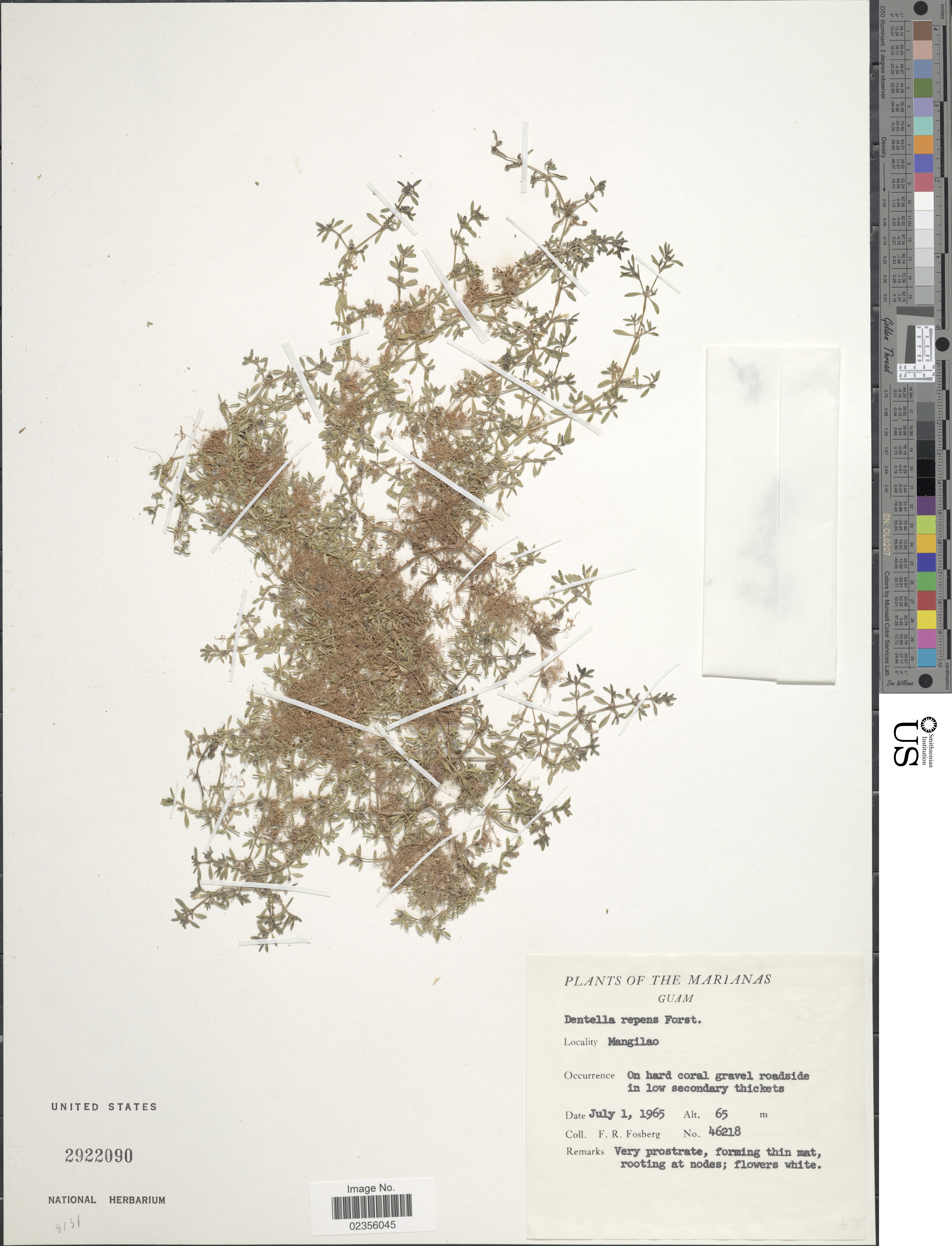 Image of <i>Dentella repens</i> (L.) J. R. Forst. & G. Forst.