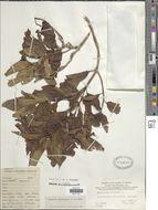 Image of <i>Mussaenda raiateensis</i> J. W. Moore