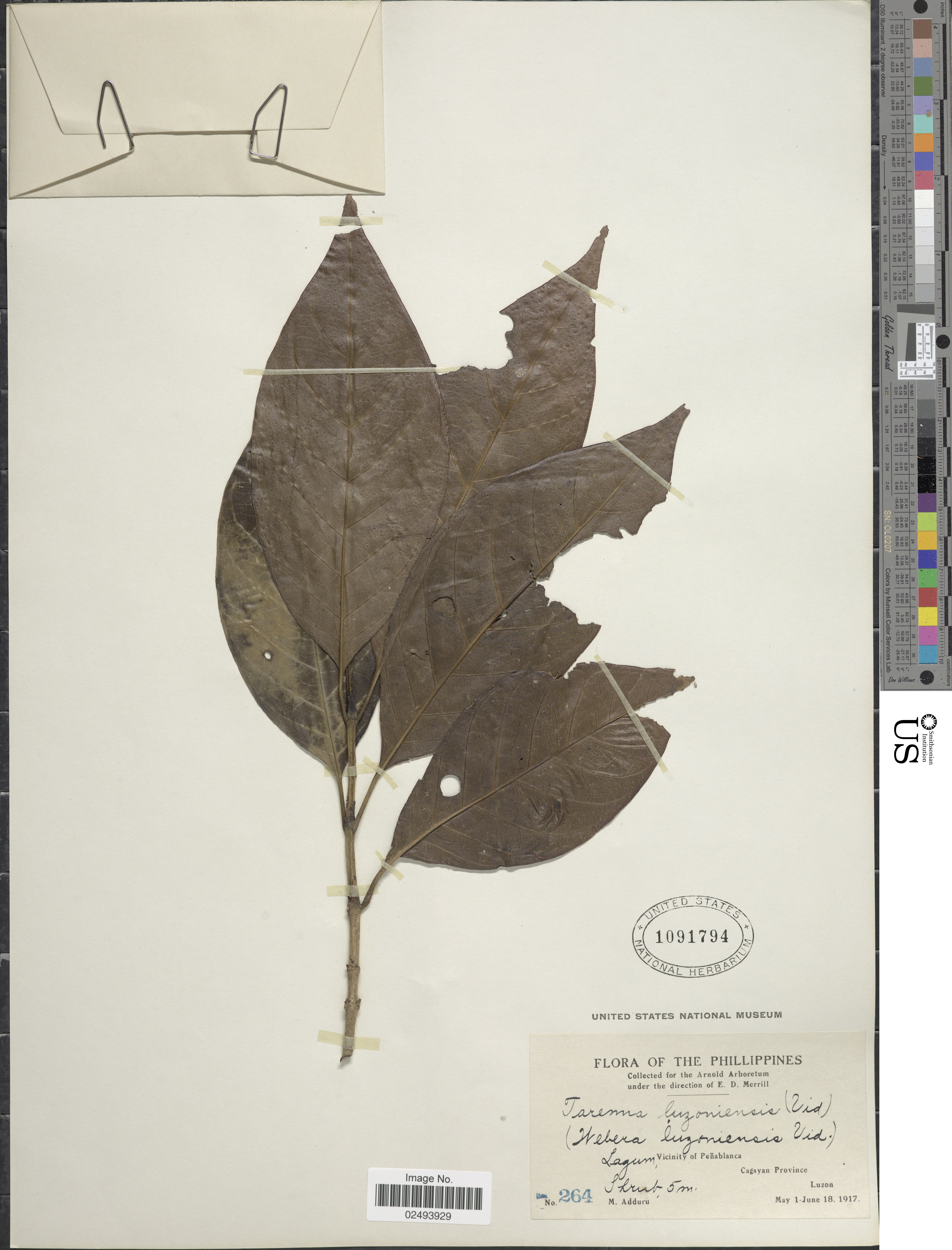 Image of <i>Tarenna luzoniensis</i> (Vidal) Bremek.
