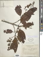 Image of <i>Elaeagia myriantha</i> (Standl.) C. M. Taylor & Hammel