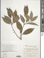 Image of <i>Amaioua intermedia</i> Mart. ex Schult. & Schult. fil.