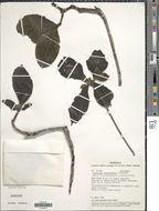 Image of <i>Tocoyena brevifolia</i> Steyerm.