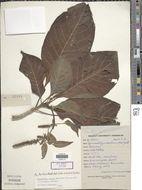 Image of <i>Hymenodictyon excelsum</i>