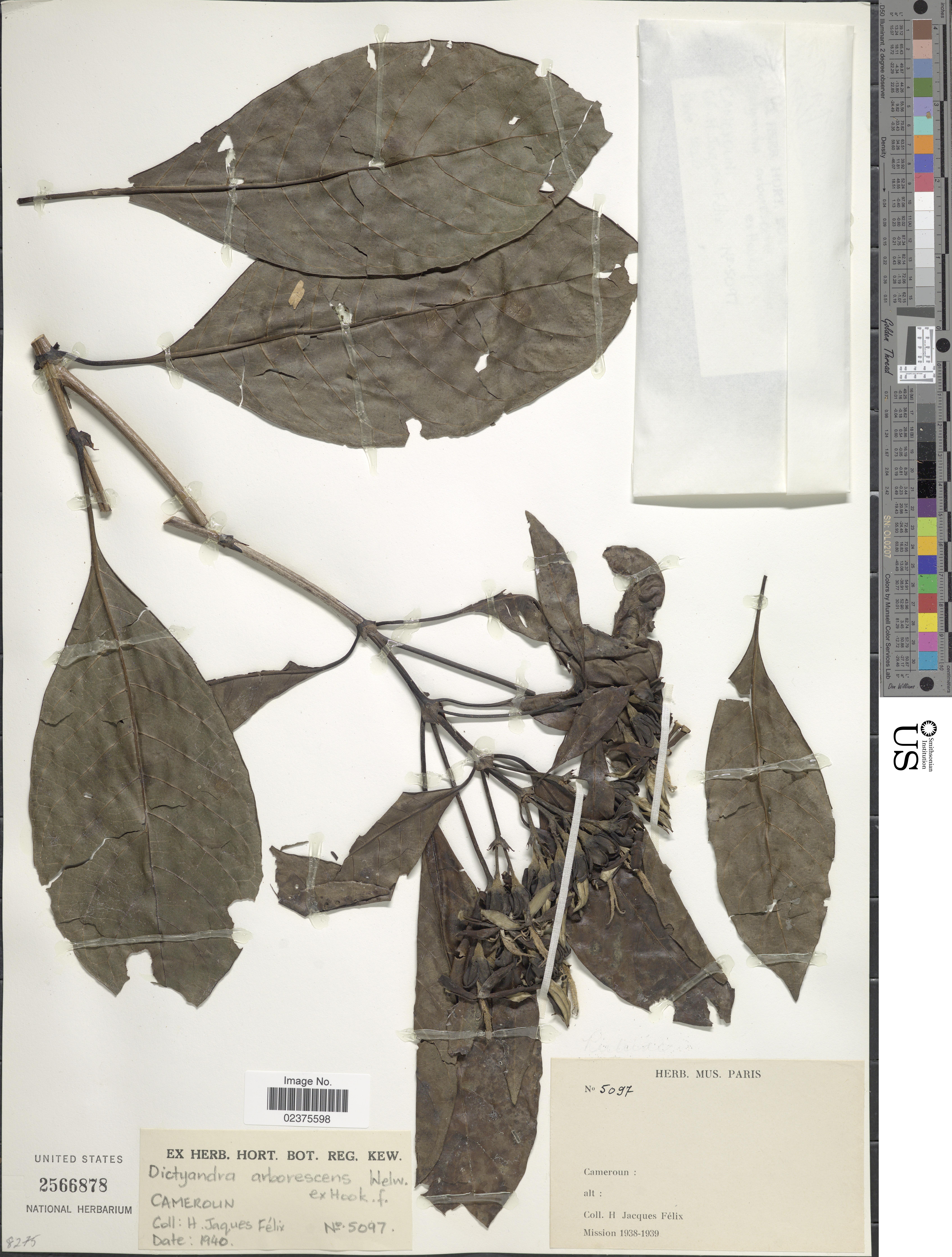 Image of <i>Dictyandra arborescens</i> Welw. ex Hook. f.