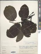 Image of <i>Tocoyena bullata</i> (Vell.) Mart.