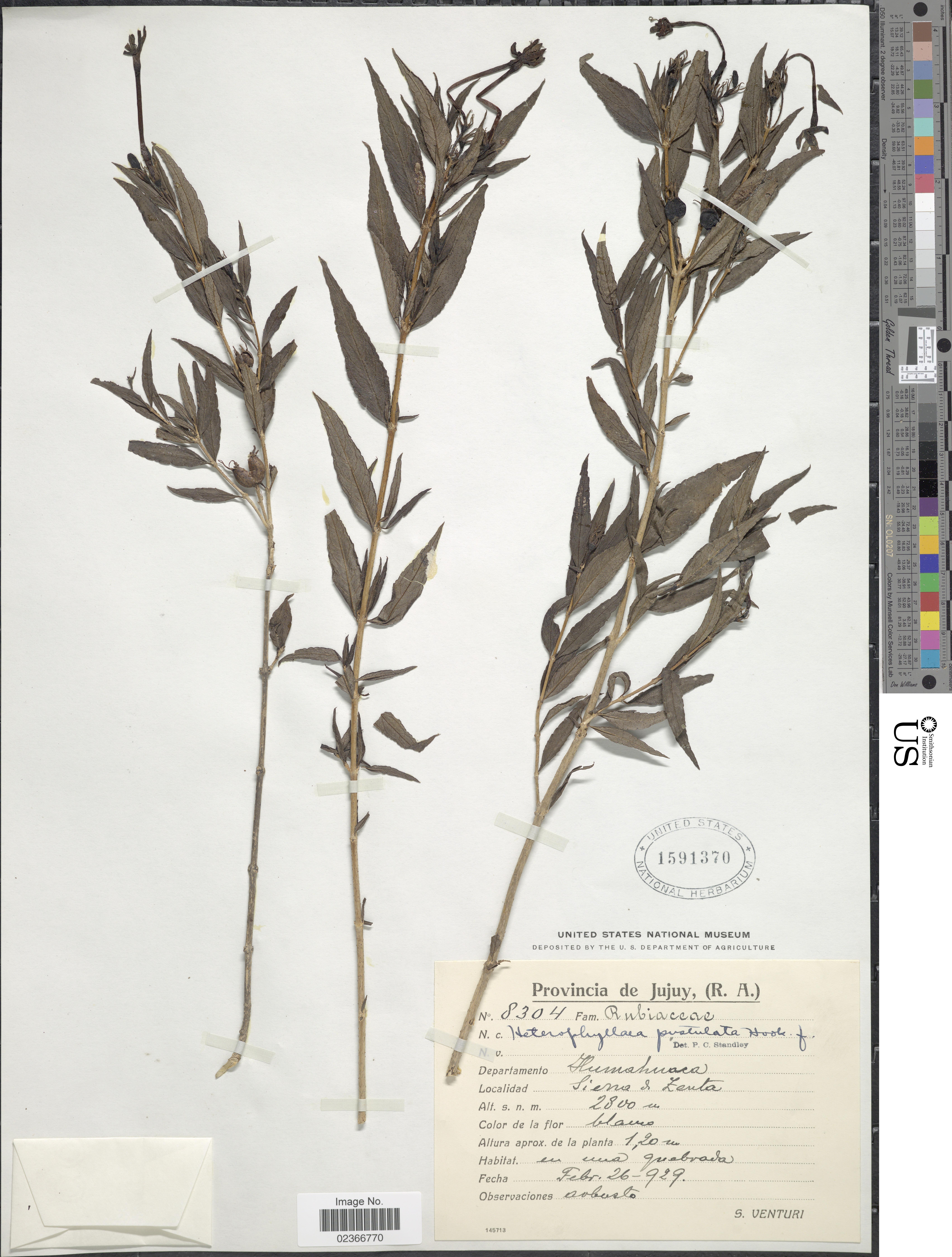 Image of <i>Heterophyllaea pustulata</i> Hook. fil.
