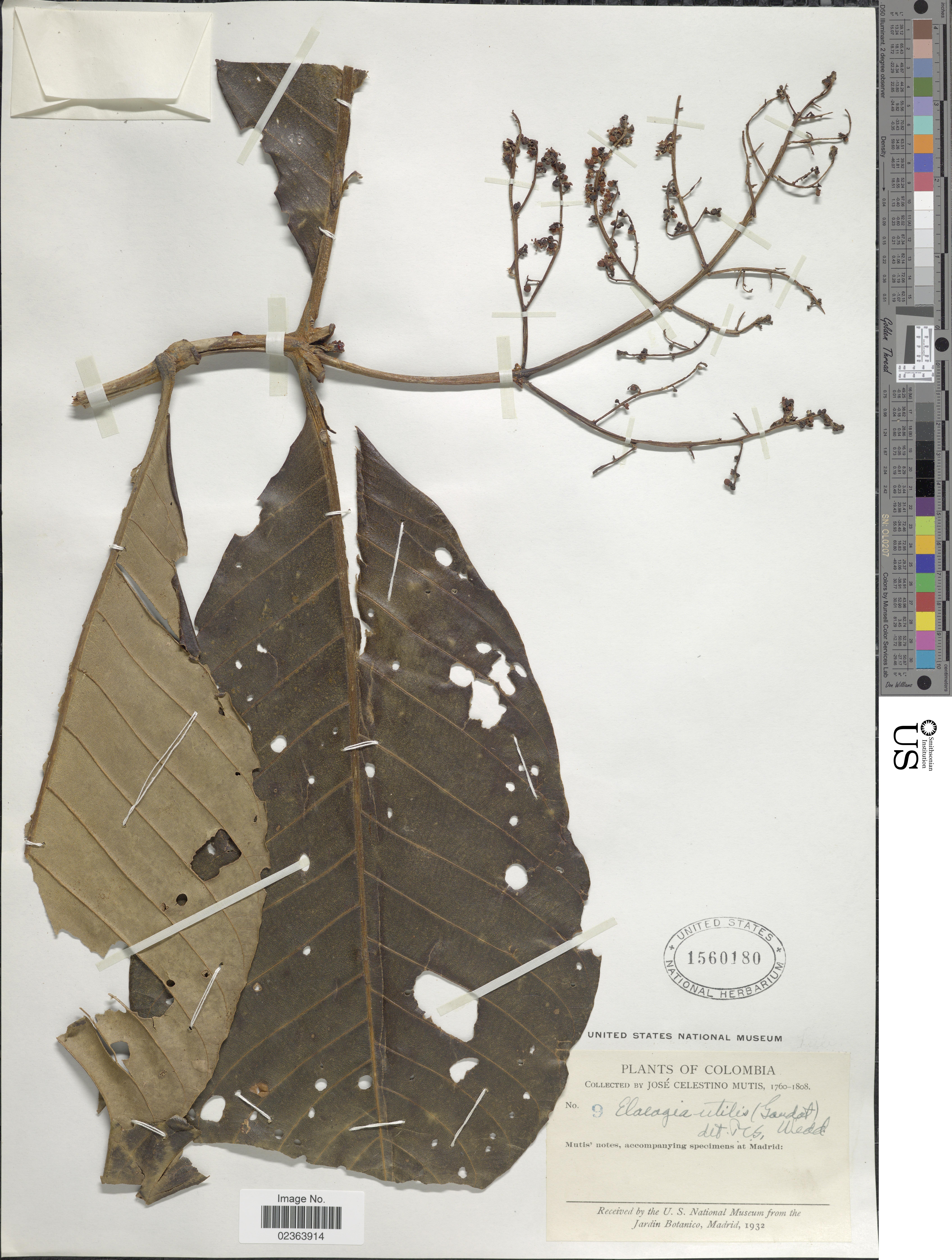 Image of <i>Elaeagia utilis</i> (Goudot) Wedd.