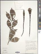 Image of <i>Rothmannia longiflora</i> Salisb.