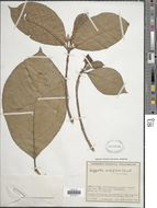 Image of <i>Hippotis albiflora</i> H. Karst.