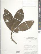 Image of <i>Hippotis brevipes</i> Spruce ex K. Schum.