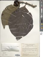 Image of <i>Tocoyena foetida</i> Poepp.