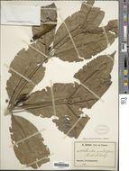 Image of <i>Rothmannia whitfieldii</i> (Lindl.) Dandy