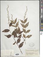 Image of <i>Gonzalagunia cornifolia</i> (Kunth) Standl.