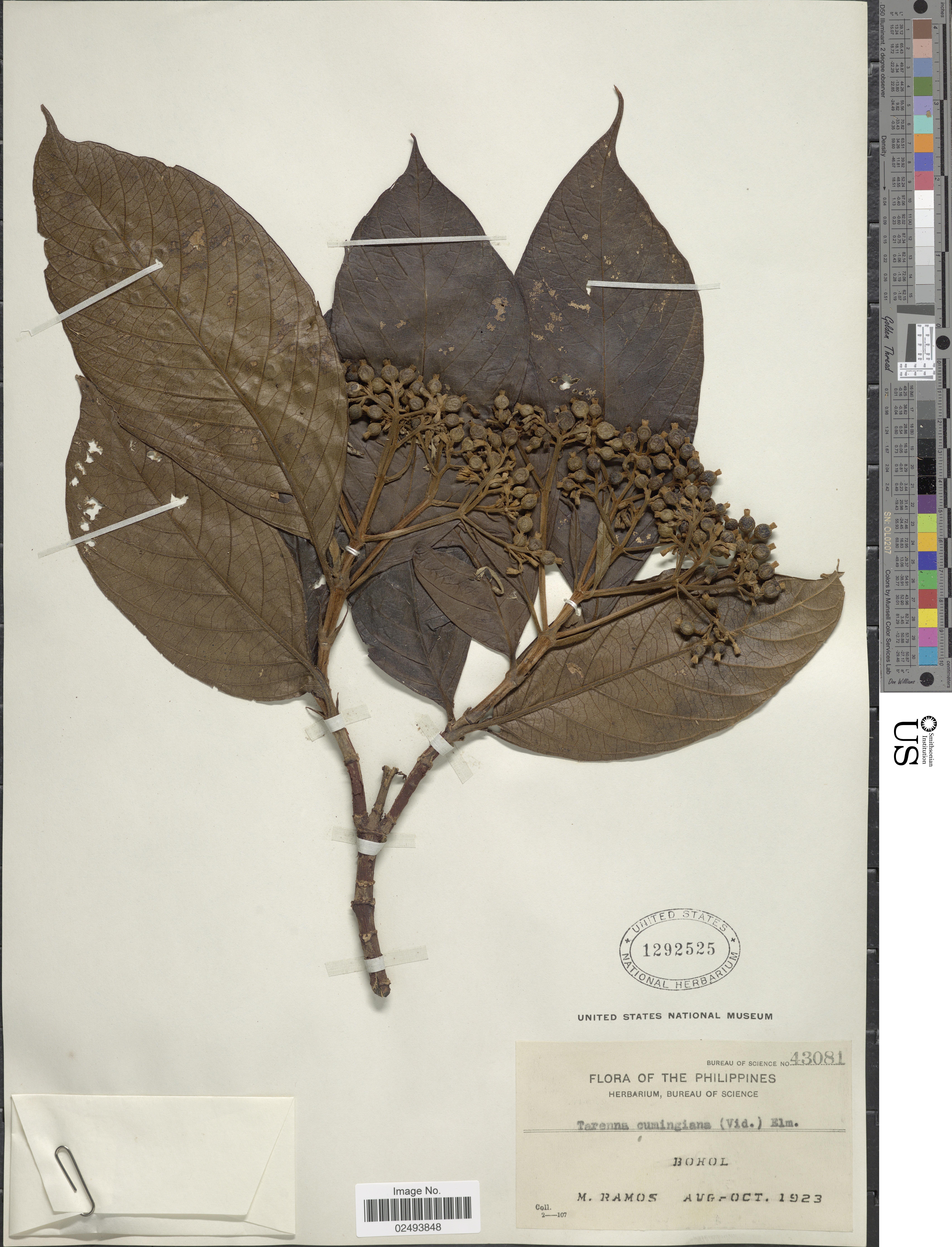 Image of <i>Tarenna cumingiana</i> (S. Vidal) Elmer