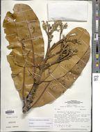 Image of <i>Henriquezia nitida</i> Spruce ex Benth.