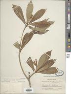 Image of <i>Hippotis subelongata</i> Steyerm.