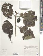 Image of <i>Tocoyena formosa</i> (Cham. & Schltdl.) K. Schum.