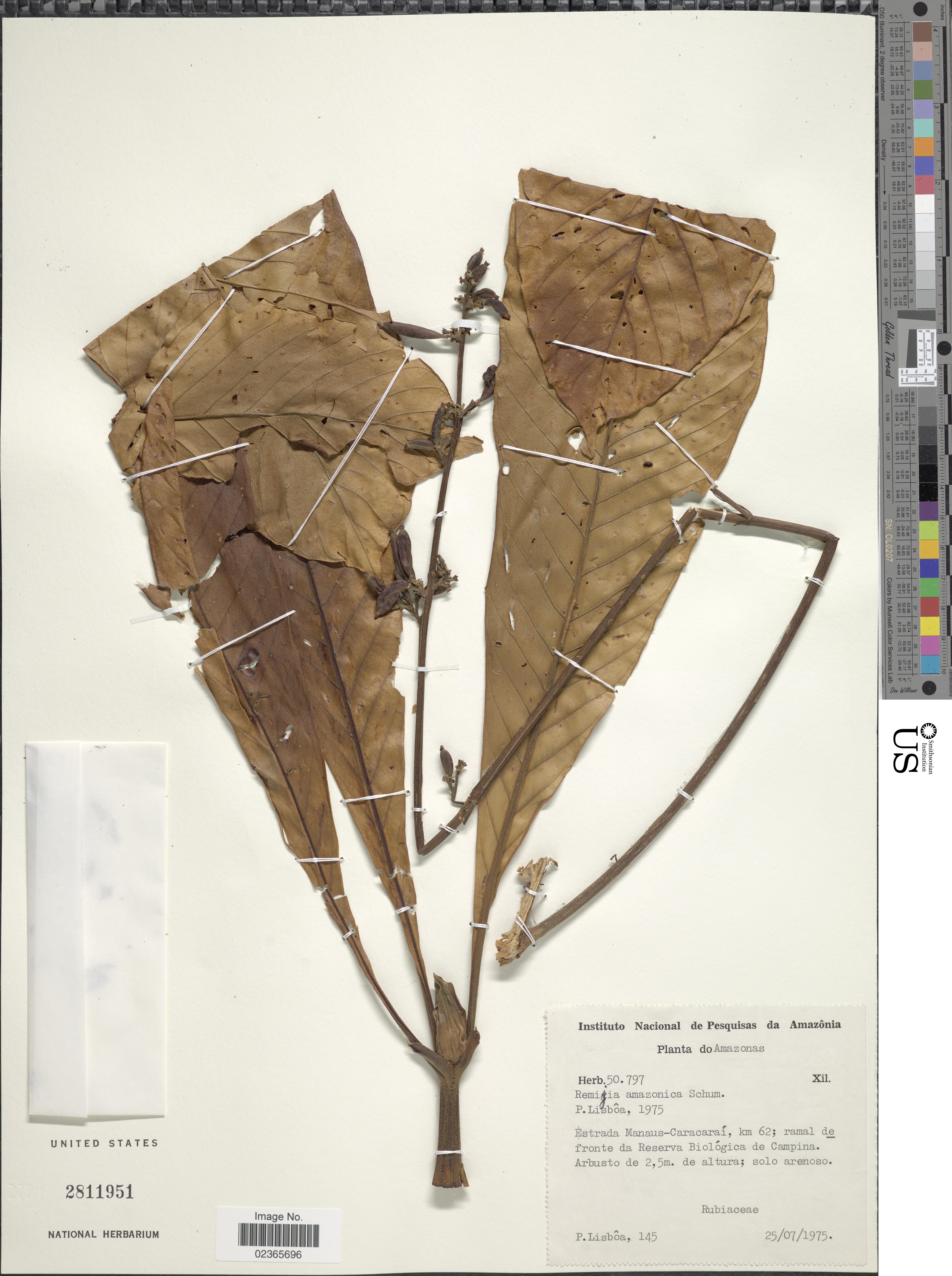 Image of <i>Remijia amazonica</i> K. Schum.