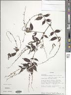 Image of <i>Gonzalagunia dicocca</i> Cham. & Schltdl.