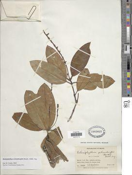Image of <i>Retiniphyllum schomburgkii</i> (Benth.) Müll. Arg.