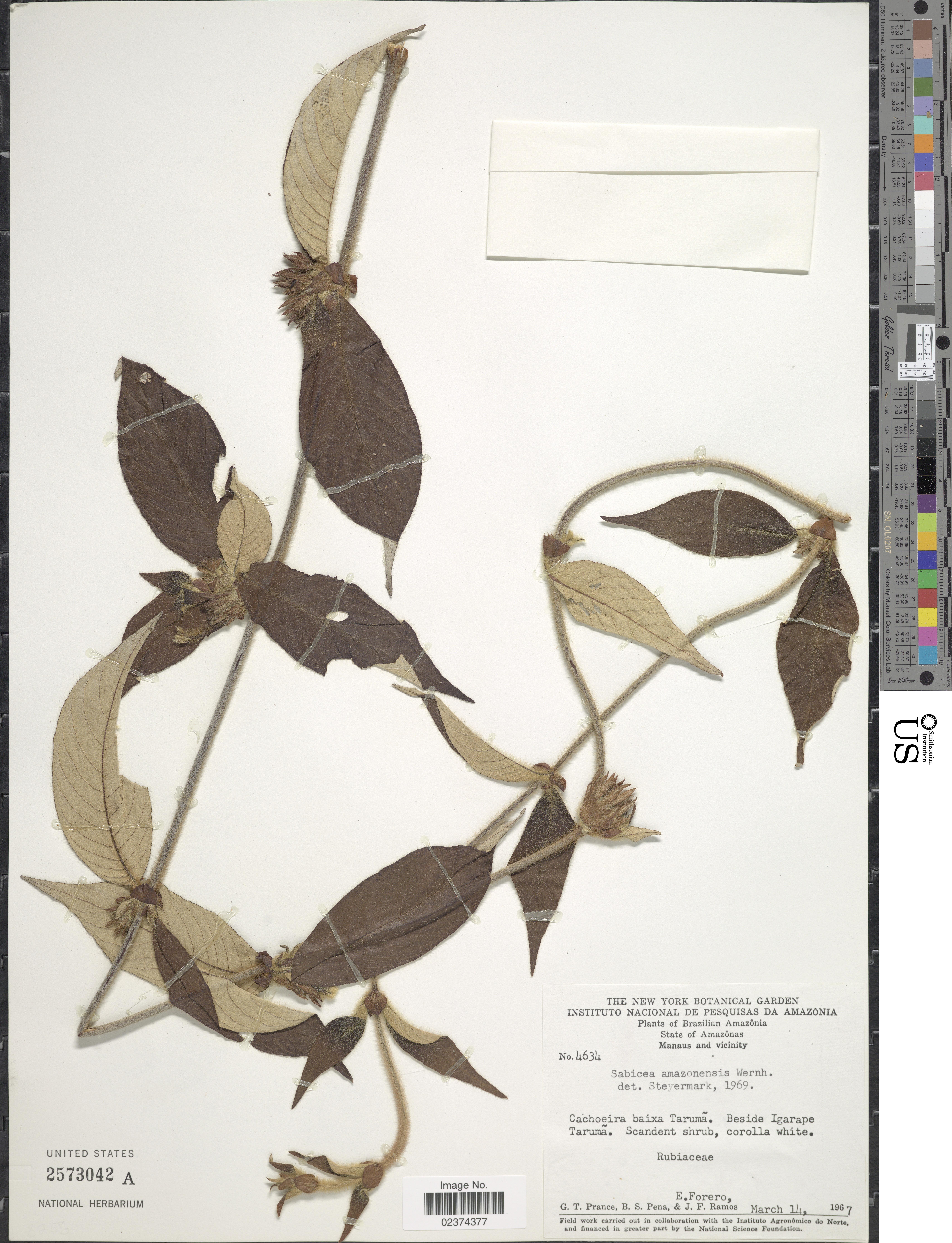 Image of <i>Sabicea amazonensis</i> Wernham