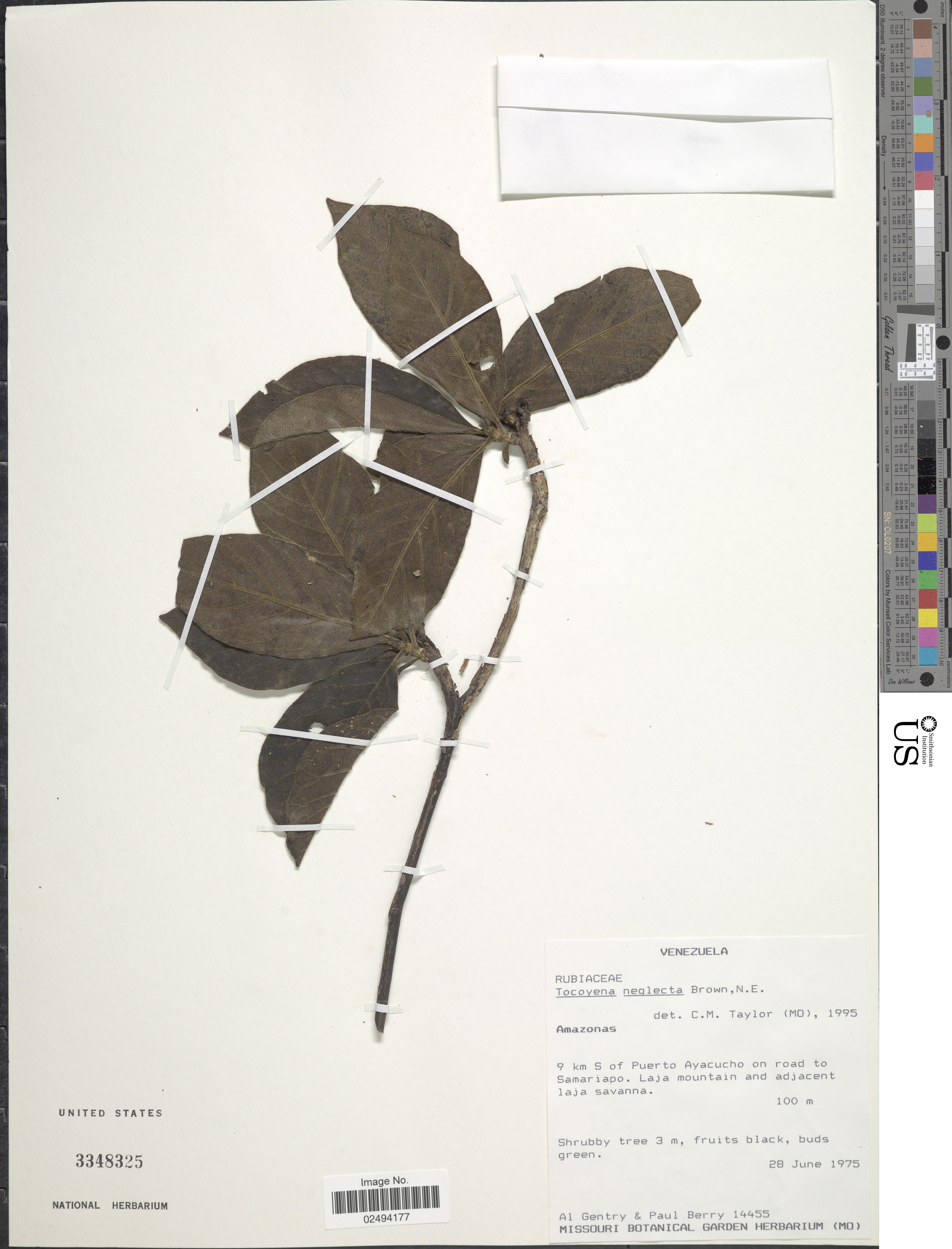 Image of <i>Tocoyena neglecta</i> N. E. Br.