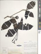 Image of <i>Tocoyena orinocensis</i> Standl. & Steyerm.