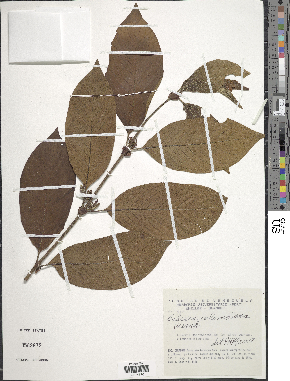 Image of <i>Sabicea colombiana</i> Wernham