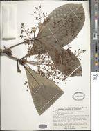 Image of <i>Elaeagia laxiflora</i> Standl. & Steyerm.