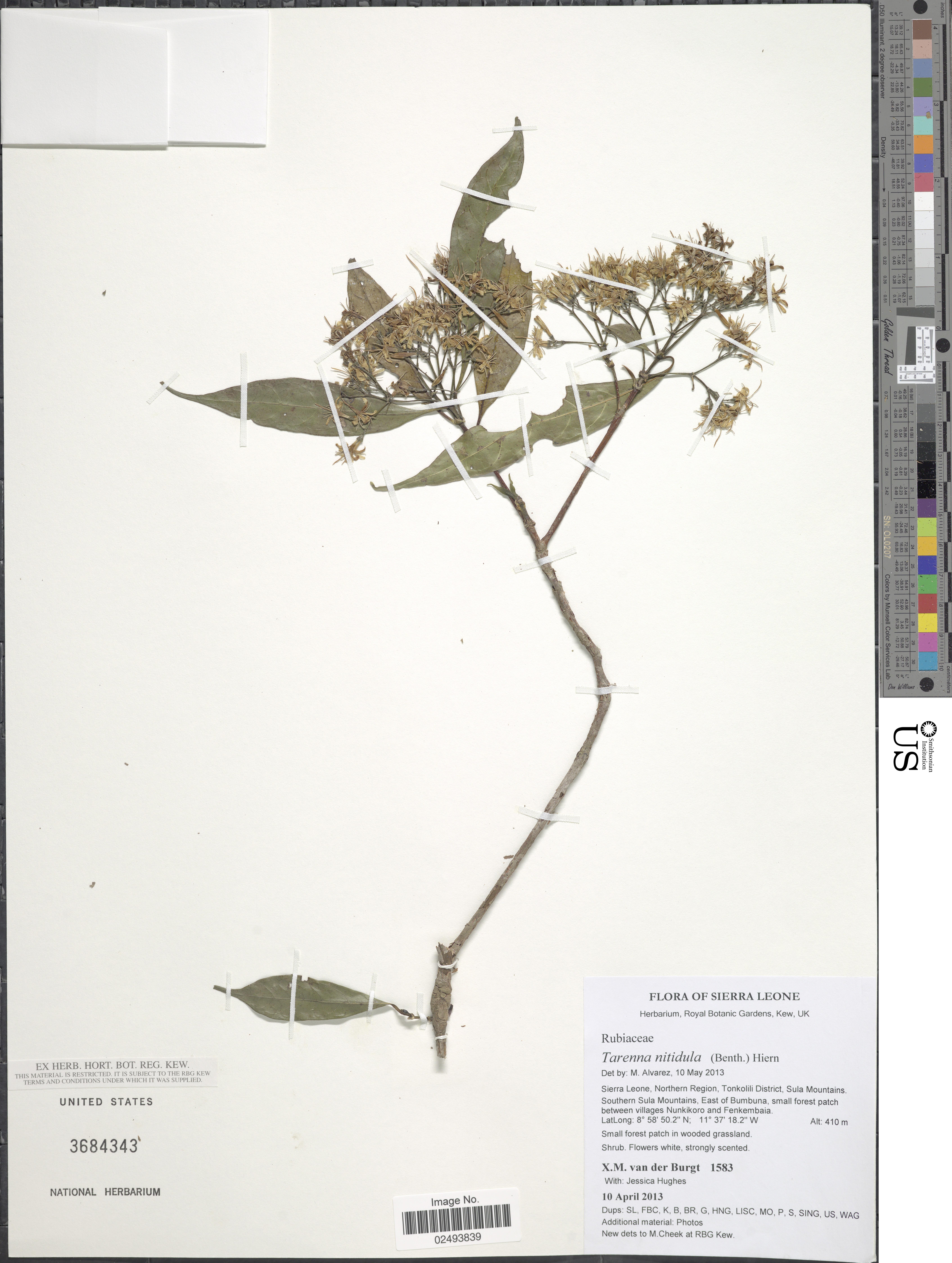 Image of <i>Tarenna nitidula</i> (Benth.) Hiern