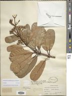 Image of <i>Henriquezia verticillata</i> Spruce ex Benth.