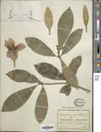 Image of <i>Rothmannia engleriana</i> (K. Schum.) Keay
