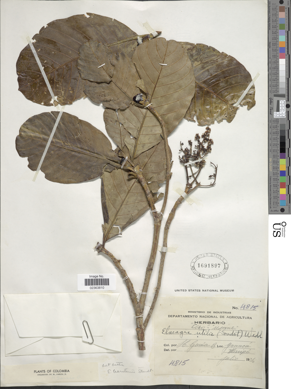 Image of <i>Elaeagia karstenii</i> Standl.