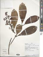 Image of <i>Elaeagia pastoensis</i> L. E. Mora