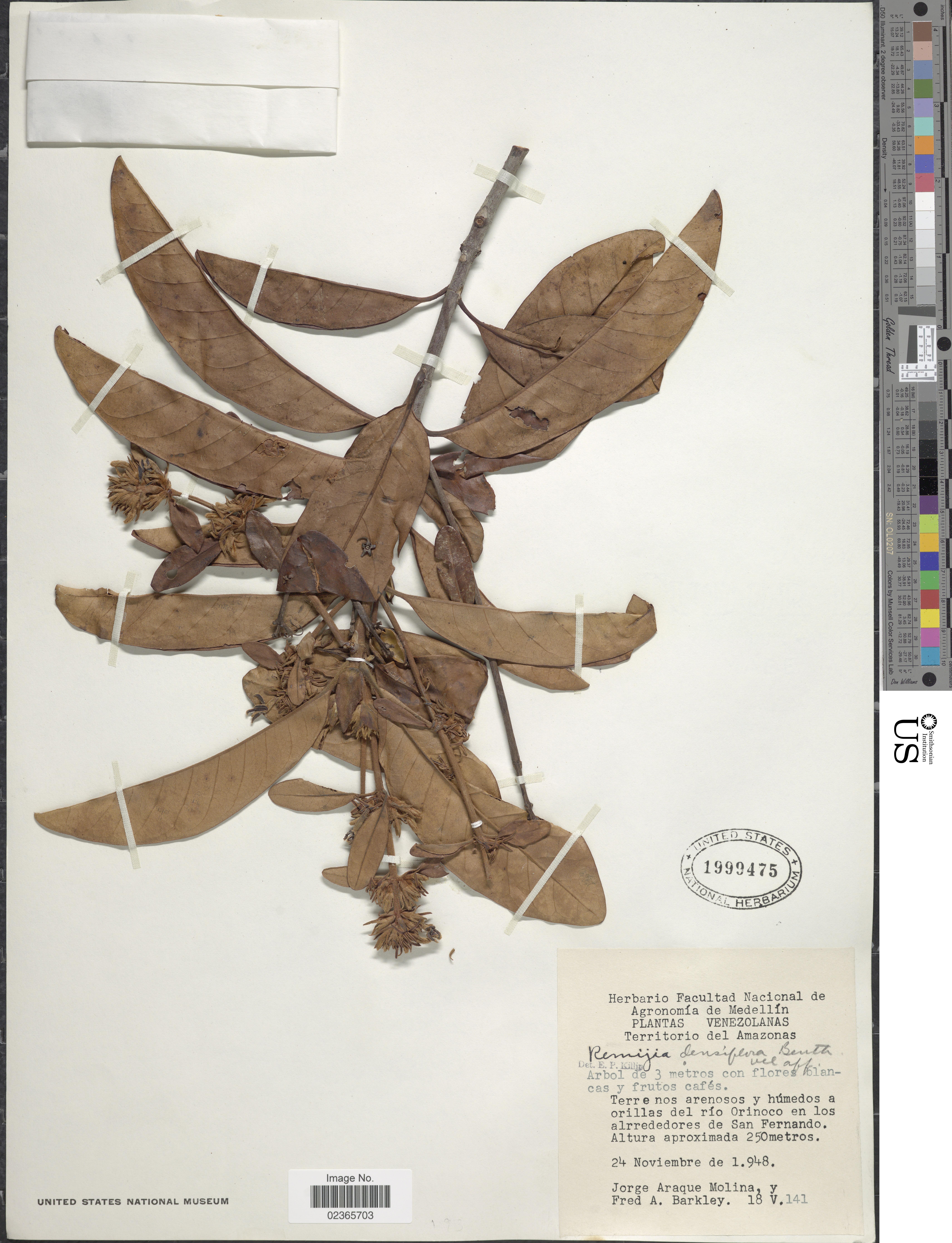 Image of <i>Remijia densiflora</i> Benth.