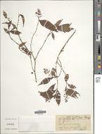 Image of <i>Psychotria eggersii</i> Standl.