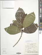 Image of <i>Timonius subauritus</i> Valeton