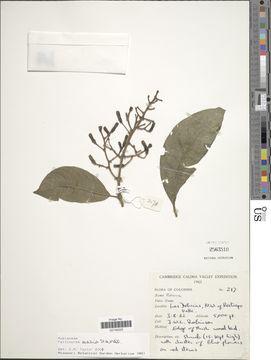 Image of <i>Palicourea ovalis</i> Standl.