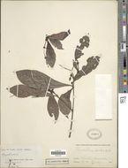 Image of <i>Psychotria viridis</i> Ruiz & Pav.