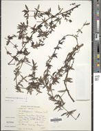 Image of <i>Anthospermum herbaceum</i> L. fil.