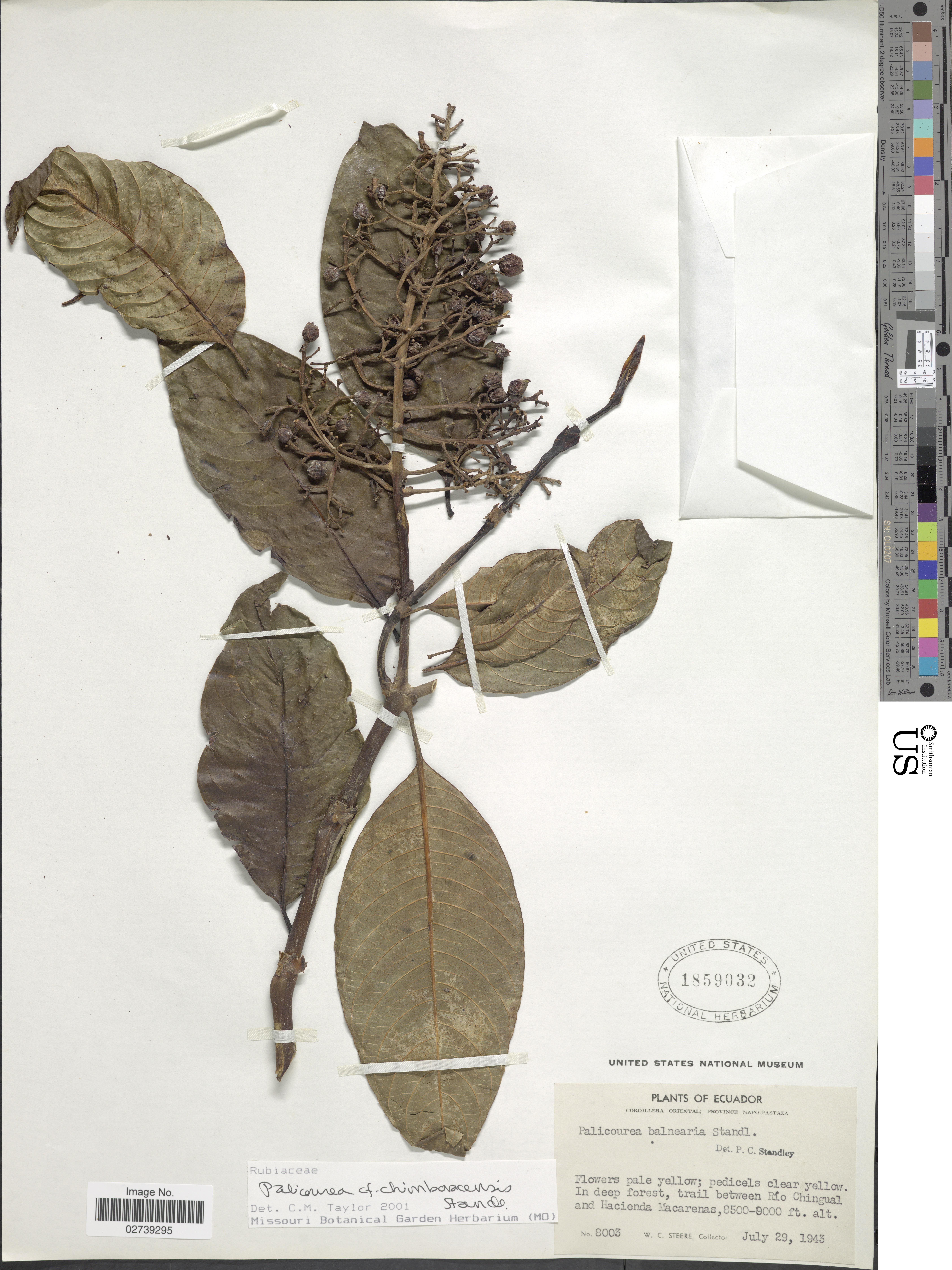 Image of <i>Palicourea chimboracensis</i> Standl.